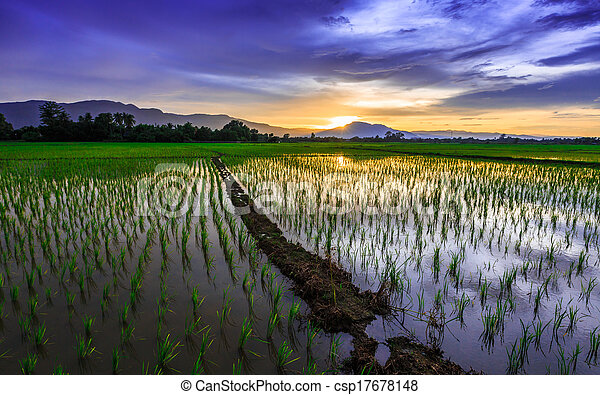 Young rice field against reflected sunset sky - csp17678148