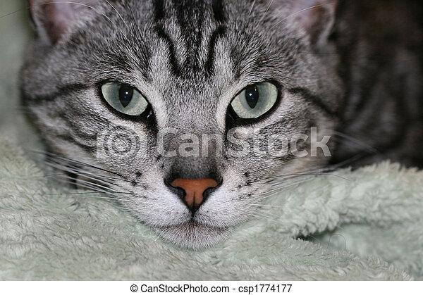 gray orange cat