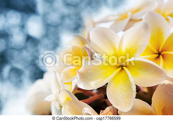 white frangipani flowers bouquet with fresh water dew against  blue blur background use for copyspace and nature background backdrop  - csp17766599