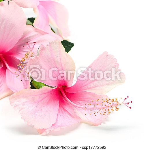 Hibiscus - csp17772592