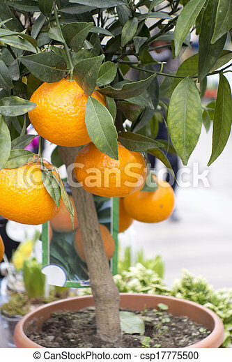 Barcelona Food - Orange Tree - csp17775500