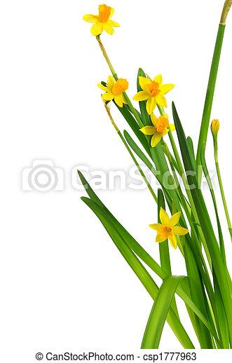 easter daffodil 4 - csp1777963