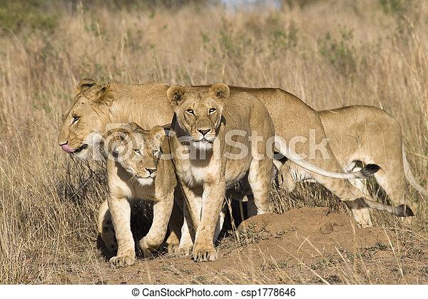 Pride of lions - csp1778646