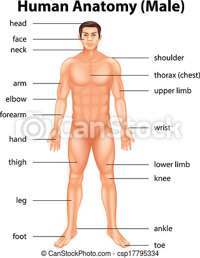 Vectors of Human body parts - Illustration of human body parts ...