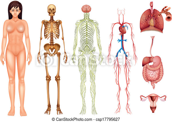 Vector Illustration of Human body systems - Illustration of ...