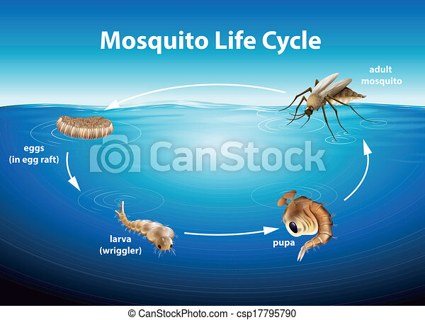 Life Cycle of a Mosquito - csp17795790