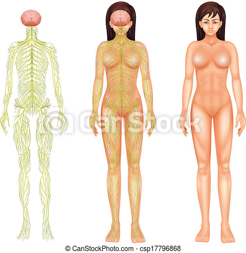 Nervous System Drawing Nervous System of a Woman