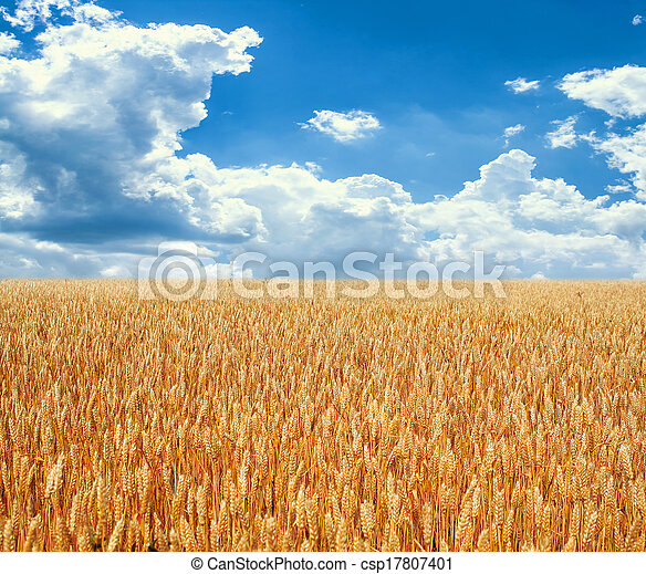 Gold wheat field and blue sky - csp17807401