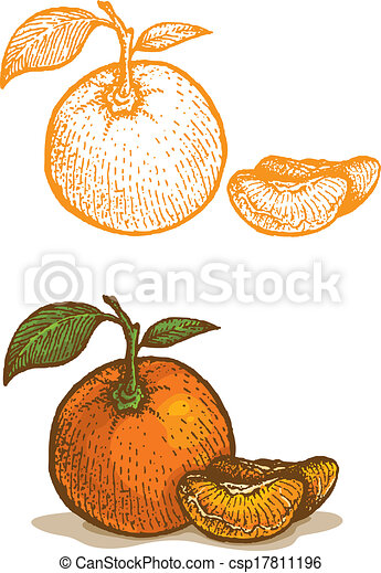 EPS Vectors of Illustrations of tangerine in retro style ...