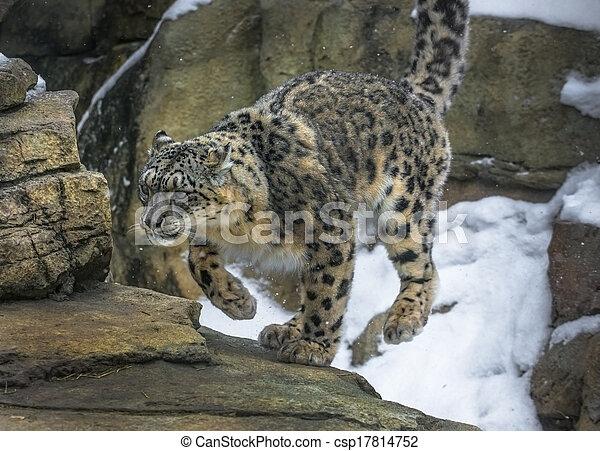 Are Search snow leopard porn opinion