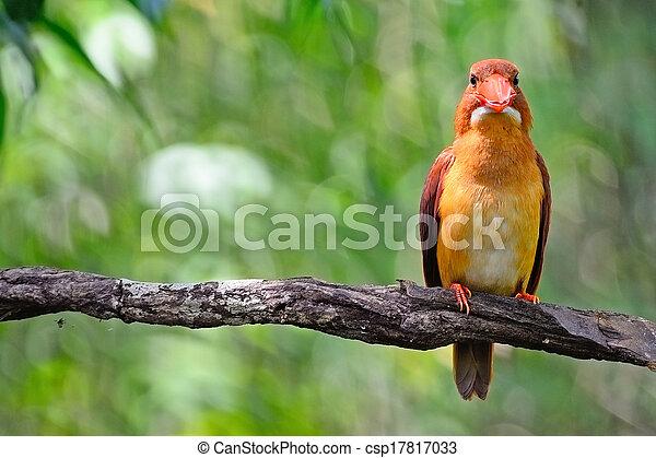 male Ruddy Kingfisher - csp17817033