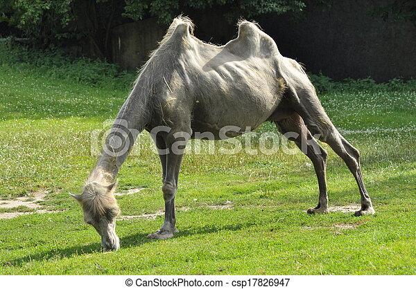 A camel in the zoo, mammal desert - csp17826947