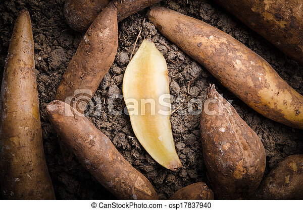 Stock photo of fresh yacon root fresh yacon root cut off for Soil xat cut off