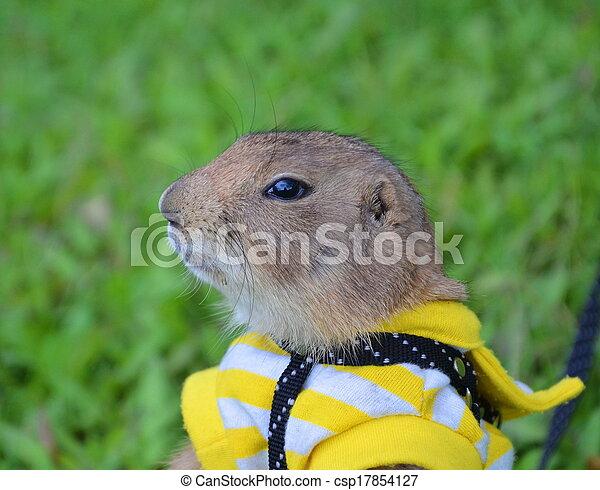 Prairie dog on lawn in summer - csp17854127