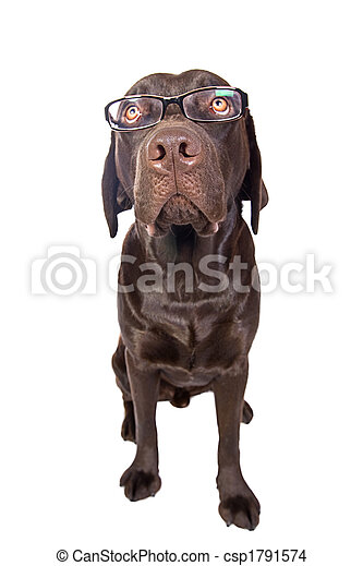 Clever Looking Labrador with Glasses - csp1791574