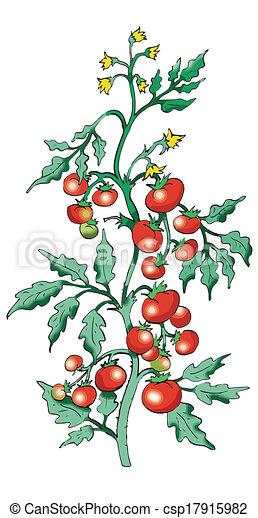 Vecteur de tomate buisson blanc fond buisson tomate sur blanc csp17915982 - Tomate dessin ...