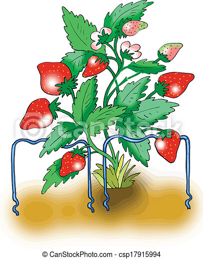 Vector - Ripe red strawberry plant - stock illustration, royalty free ...
