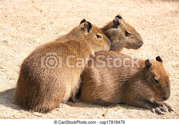 Capybara is a semi-aquatic mammal found throughout almost all countries of South America - csp17918479