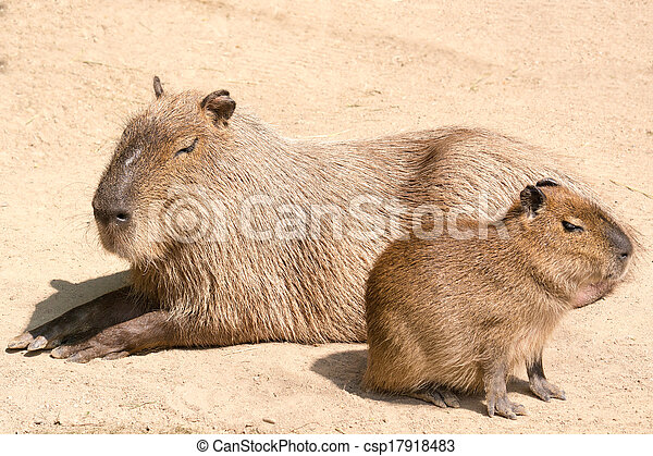 Capybara is a semi-aquatic mammal found throughout almost all countries of South America - csp17918483