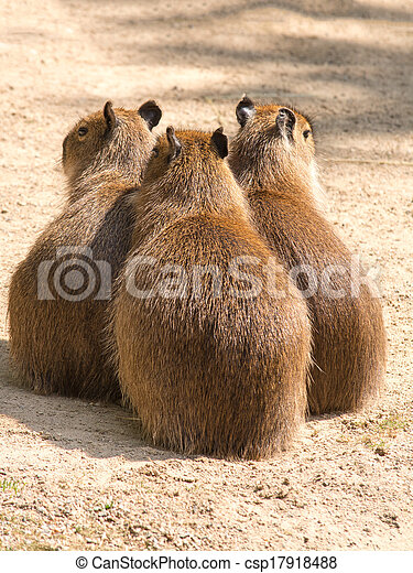 Capybara is a semi-aquatic mammal found throughout almost all countries of South America - csp17918488