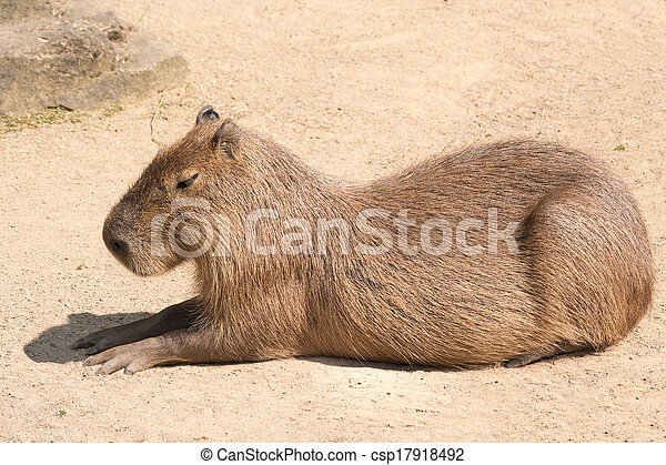Capybara is a semi-aquatic mammal found throughout almost all countries of South America - csp17918492