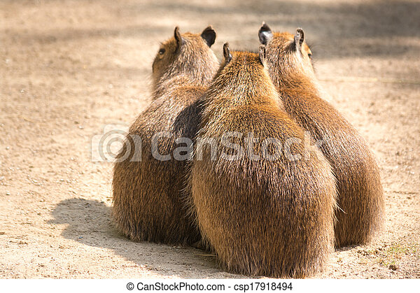 Capybara is a semi-aquatic mammal found throughout almost all countries of South America - csp17918494