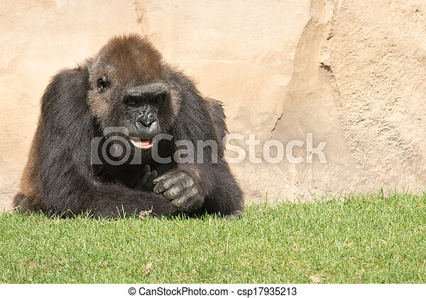 Male silverback gorilla, single mammal on grass - csp17935213
