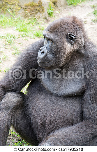 Male silverback gorilla, single mammal on grass - csp17935218