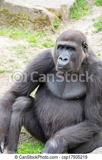 Male silverback gorilla, single mammal on grass - csp17935219