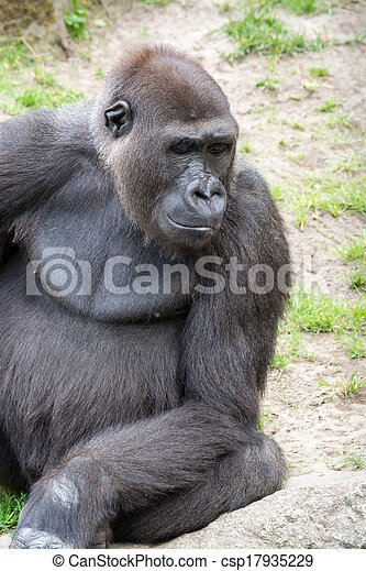 Male silverback gorilla, single mammal on grass - csp17935229