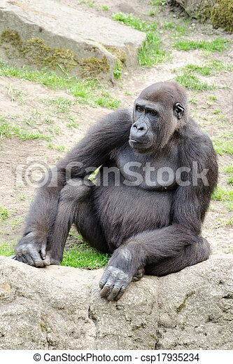 Male silverback gorilla, single mammal on grass - csp17935234
