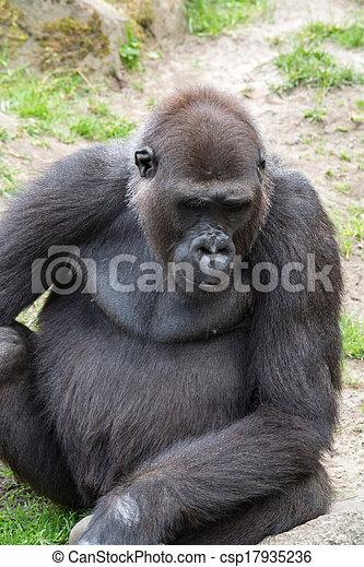 Male silverback gorilla, single mammal on grass - csp17935236