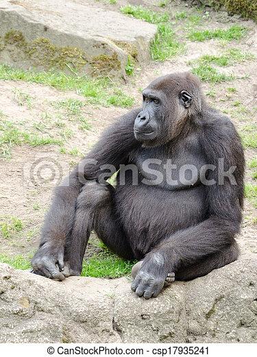 Male silverback gorilla, single mammal on grass - csp17935241