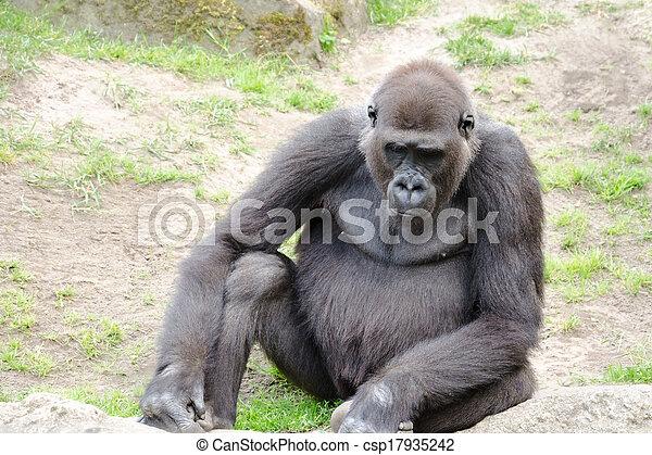 Male silverback gorilla, single mammal on grass - csp17935242