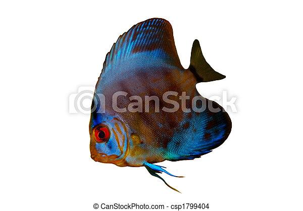 Discus Fish Isolated - csp1799404