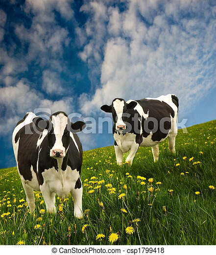 Friesian Cows  - csp1799418
