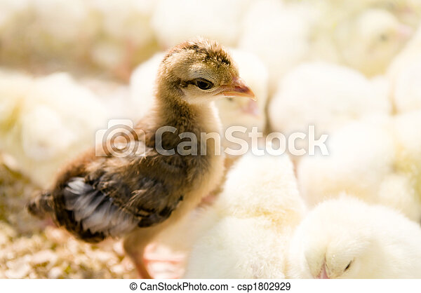 Outstanding chick - csp1802929