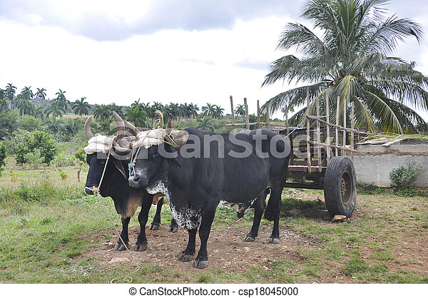 Two oxen harnessed to a cart