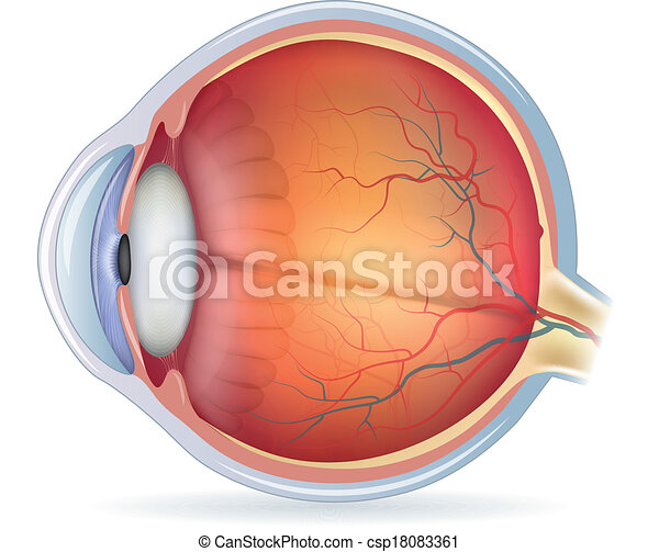 Detailed human eye anatomical illustration - csp18083361