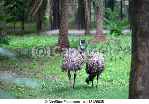 emu, madarak - csp18126835