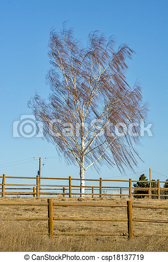 Willow tree blowing in the wind - csp18137719