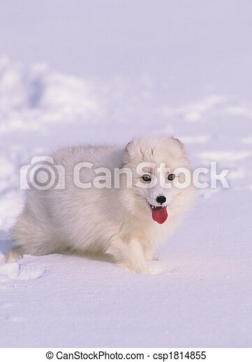 Arctic Fox in Winter Coat - csp1814855