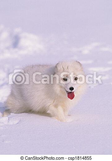 Arctic Fox in Winter Coat - csp1814855