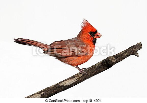 Isolated Cardinal On A Stump - csp1814924