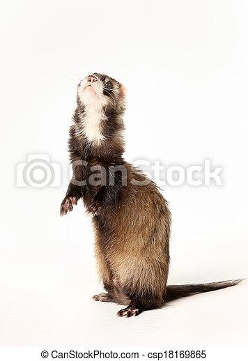 Ferret standing on rear legs - csp18169865