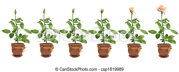 Process of flowering of a rose - csp1819989