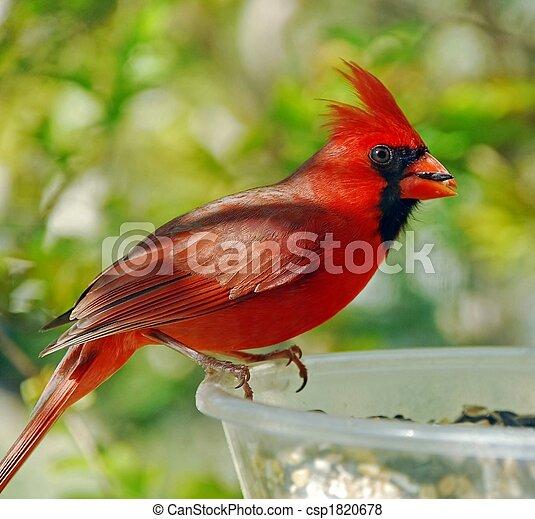 Male Cardinal (Cardinalis cardinalis) - csp1820678