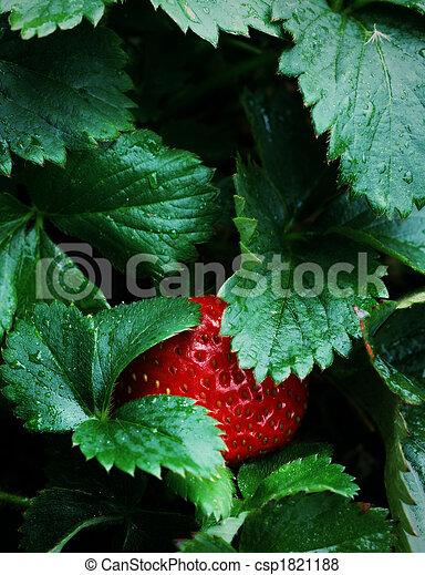 Ripe Strawberry Patch Garden - csp1821188