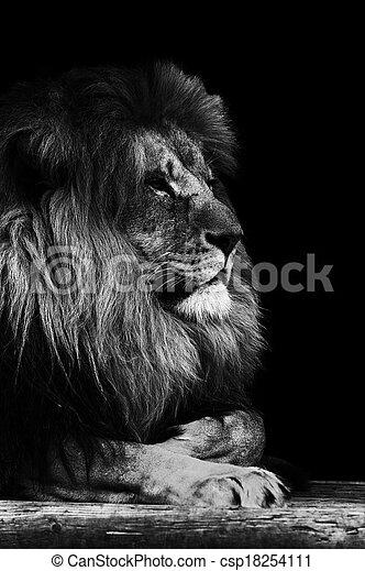 photographies de portrait lion noir blanc portrait. Black Bedroom Furniture Sets. Home Design Ideas