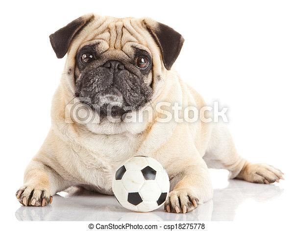 Pug, cão, isolado, branca, fundo - csp18275778